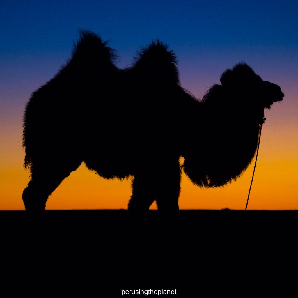 camel silhouette in the gobi desert mongolia