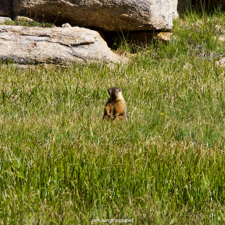 yellow belly marmot pacific crest trail