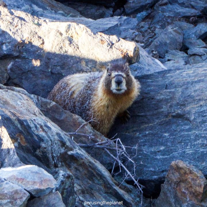 pacific crest trail marmot