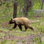 pacific crest trail bear facts