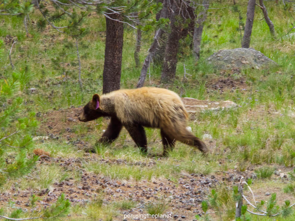 pacific crest trail hike bears